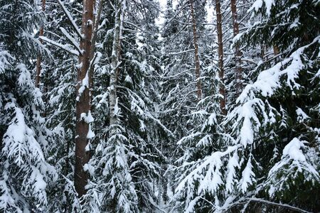 selective focus. Coniferous forest in winter, under a large layer of snow. Horizontal position, nobody Reklamní fotografie