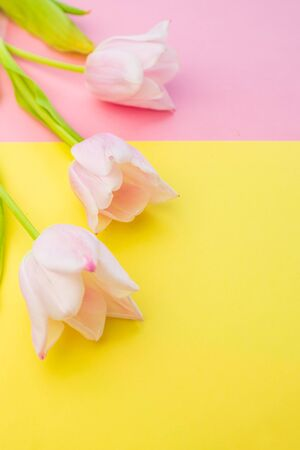 selective focus, soft pink Tulip on a colored pink and yellow paper background