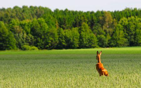 haver veld: Herten is springen in een veld van haver