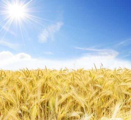 haver veld: Zonnige dag uit op het gebied van haver