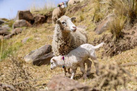A sheep with a cute lamb grazing on the hills in Peru. Zdjęcie Seryjne