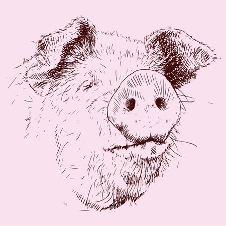 porcine: Pig in line. Illustration