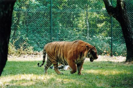 tigre: tigre Stock Photo