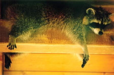 raccoon  close up background. Standard-Bild