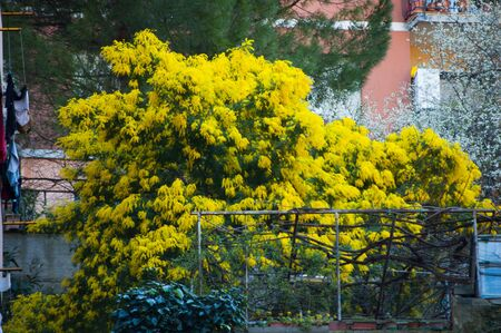 yellow mimosa plant blooming in spring Banco de Imagens