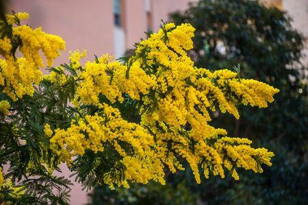 yellow mimosa plant blooming in spring 版權商用圖片
