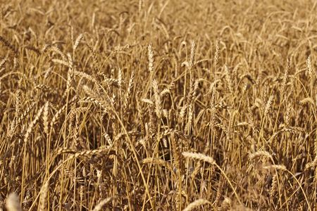 field of grain Stock Photo - 5367734