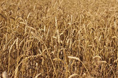 field of grain Stock Photo - 5367734