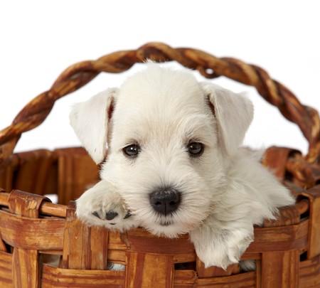 puppy in a basket photo