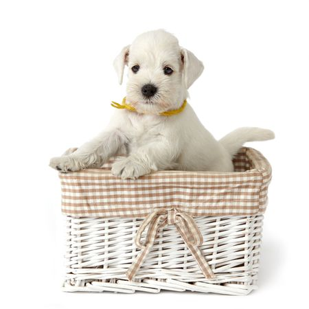 white puppy in a basket photo
