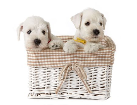 white puppies in a basket photo