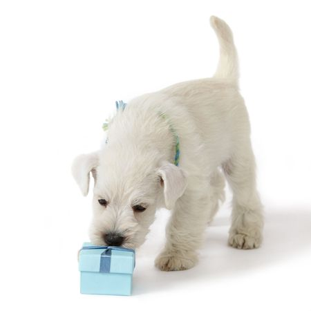 puppy and gift box Stock Photo - 7630123