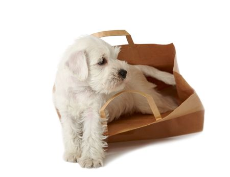 puppy in a shopping bag photo