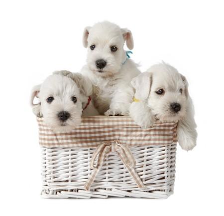 three white puppies photo