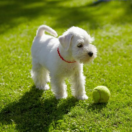 white puppy   photo