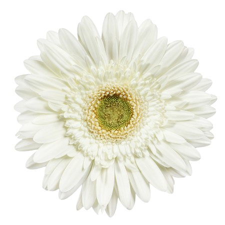 gerber daisy: white gerber