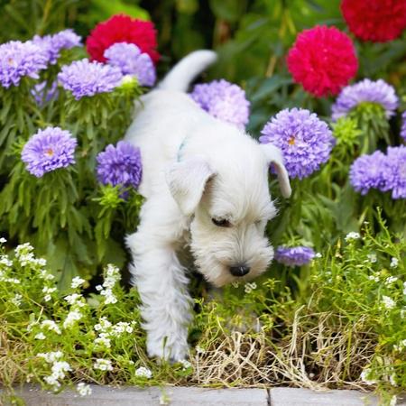 small garden: white schnauzer puppy Stock Photo