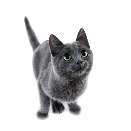 russian blue kitten Stock Photo - 8456026