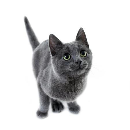 white russian: russian blue kitten