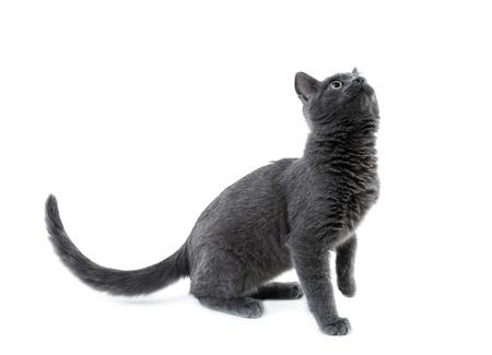 russian blue kitten photo