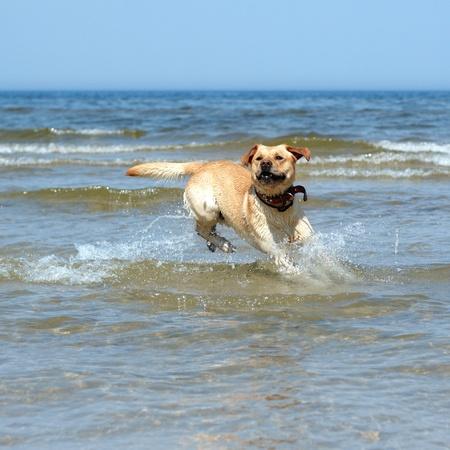 active labrador photo