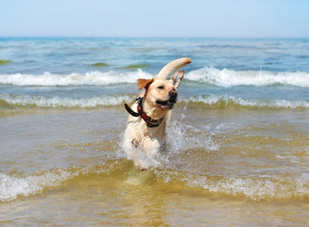 large dog: running labrador