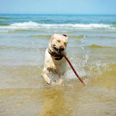 beautiful running labrador photo
