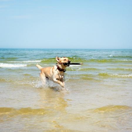 beautiful young labrador photo