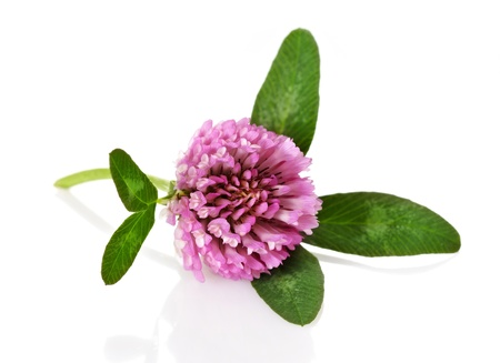 red clover: red clover flower on white background Stock Photo
