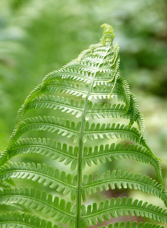 fern leaf Stock Photo - 11676512