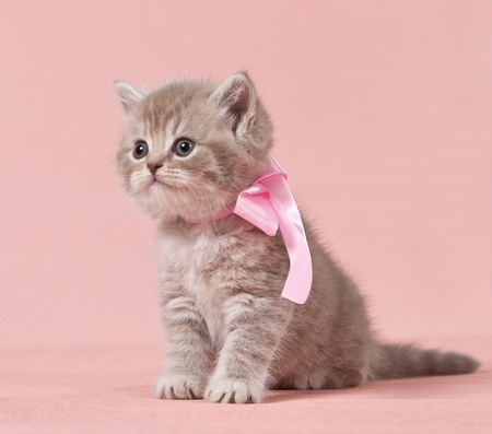 cute kitten: british kitten