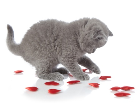 cat playing: kitten and red decorative hearts