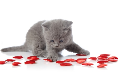 valentine cat: kitten and decorative hearts