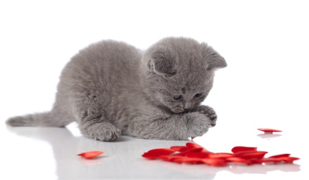 animal pussy: kitten and decorative hearts