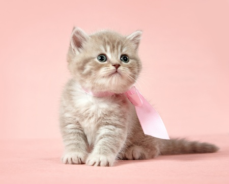 british shorthair kitten photo