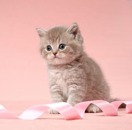 british shorthair kitten photo