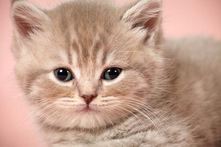 british shorthair kitten Stock Photo - 11882296