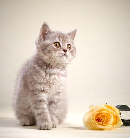 pussy yellow: kitten and yellow rose Stock Photo