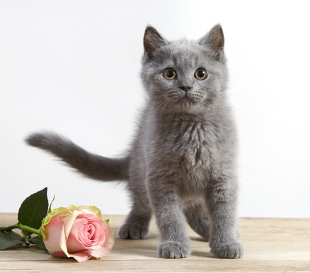 valentine cat: kitten and pink rose