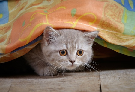 kitten under bed Stock Photo - 12034506