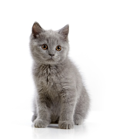 gray cat: british short hair kitten