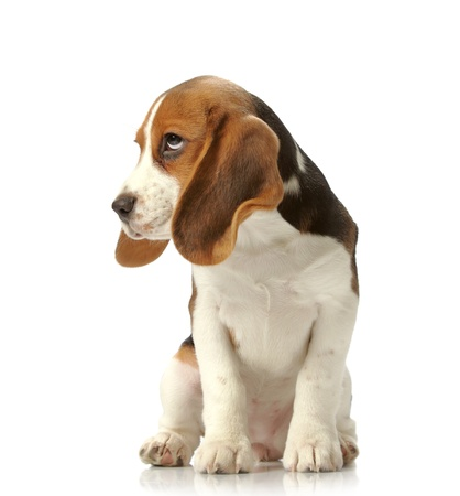 beagle puppy photo