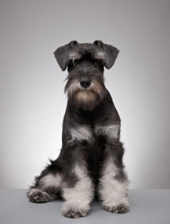 five month old: five month old miniature schnauzer puppy