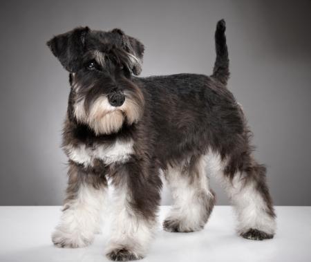 schnauzer: Miniature schnauzer puppy Stock Photo