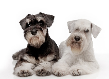 Miniature schnauzer puppies photo