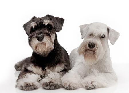 schnauzer: Miniature schnauzer puppies Stock Photo