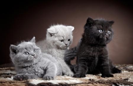 british pussy: three british short hair kittens Stock Photo