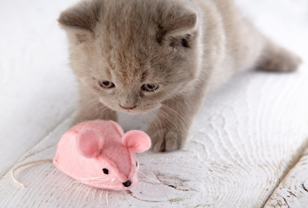 kitten and pink mouse photo