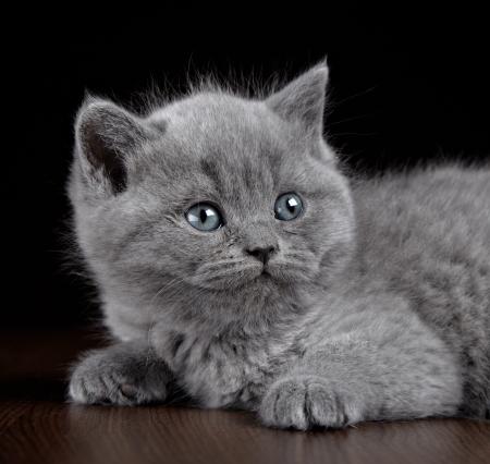 British short hair kitten five weeks old Stock Photo - 17566703