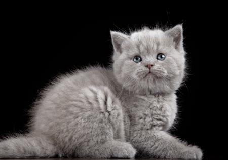 British short hair kitten five weeks old Stock Photo - 17566704
